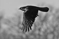 sunlight in flight (stellagrimsdale) Tags: inflight crow bird birdphotography black monochrome blackandwhite sky 7dwf sevendayswithflickr