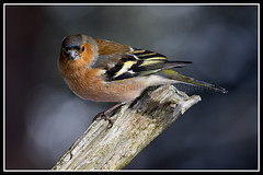IMG_0018 Chaffinch (Scotchjohnnie) Tags: chaffinch fringillacoelebs male ornithology bird birdphotography birdwatching ukbirds nature naturephotography wildlife wildlifephotography wildanimal wildandfree canon canoneos canon7dmkii canonef100400f4556lisiiusm scotchjohnnie closeup