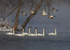 Swans and Ducks in Flight_10 (Scott_Knight) Tags: swans ducks river mississippi minnesota canon waterfowl winter frost trees snow ice knight 70200 nature through the lens