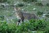 African Wild Cat (zimbart) Tags: africa namibia etosha namutoni fauna mammals vertebrata carnivora felidae felis felislybica africanwildcat