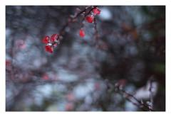 2/5 (Robert Drozda) Tags: portland oregon bush landscaping twig leaf red christmas storm pdx ice snow drozda
