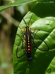 Corematura cf chrysogastra (LPJC) Tags: villacarmen manu 2016 lpjc dayflying moth corematurachrysogastra