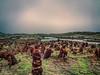 Humedal en Cucao (Chiloé - Chile) (Fotografía transición) Tags: humedal gratis nocopyright paisaje plantas vegetales riachuelo humedo atmosfera nuboso nublado llovisna pasto desolación extraterrestre playa raro extraño