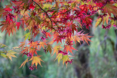 Foliage of Japanese Maple, the Butchart Gardens, British Columbia, Canada (takasphoto.com) Tags: apalmatum apsc acer acerpalmatum america angiosperms automne autumn brentwoodbay britishcolumbia butchartgardens canada color deciduous efterår eudicots fall fallenleaves floraldisplaygarden flower flowers foliage fuji fujixt1 fujixt1fujifilm fujifilm fujinon fujinonlensxf18135mmf3556rlmoiswr fujinonxf18135mmf3556rlmoiswr japanesemaple japanesemapleacerpalmatum jenniebutchart jesień kingdomplantae kırmızı leaf leaves lens lifestyle mirrorless mirrorlesscamera nature northamerica otoño outdoor plantae red robertpimbutchart rojo rosso rot rouge rød sapindaceae sapindales thebutchartgardens theitaliangarden therossfountain time tree trees vancouverisland verde vermelho victoria xmount xt1