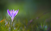Here comes the hope (Dhina A) Tags: sony a7rii ilce7rm2 a7r2 jupiter 135mm f35 jupiter37a135mmf35 12blades 37a prime m42 jupiter37a crocus spring flower hope