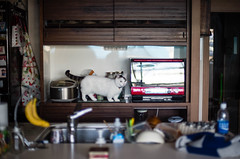 lou : kitchen (Nazra Z.) Tags: munchkin cat tabby home kitchen indoors natural lighting light 2018 raw okayama japan