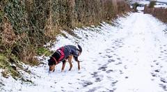 Kiri finds an interesting smell (allybeag) Tags: snow crosby kiri dog westlonning dogwalk lane