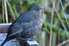 Blackbird (42jph) Tags: nikon d7200 sigma 150500 nature wildlife bird big waters reserve uk england northumberland blackbird