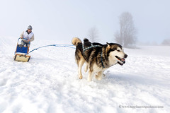 Sled dog race (My Planet Experience) Tags: alaskan malamute team dog animal nordic sled snow retordica race racing running musher mushing pulka pulk sledge sleigh white winter alaska yukon siberia myplanetexperience wwwmyplanetexperiencecom