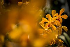 Orchids Thailand (♥siebe ©) Tags: 2018 chiangmai siebebaardafotografie thai thailand flower flowers orchid orchidee wwwsiebebaardafotografienl กล้วยไม้ ดอกไม้ ประเทศไทย เชียงใหม่ เมืองไทย ไทย nederland