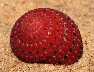 Strawberry top snail (Clanculus puniceus)