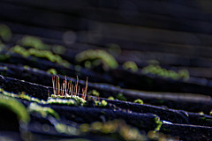 Comme un radeau sur le toit / Like a raft on the roof (pascal.echevest) Tags: nikon 5300 nature natura natur naturaleza natureza composition bokeh wild wildlife macro macrophotographie macrophotography iledefrance hautdeseine jardindelileverte nikon5300 mousse sporophyte bryophyte