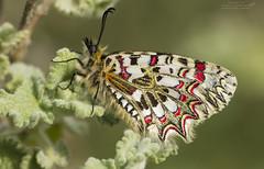 Arlequín (Pipa Terrer) Tags: zerynthiarumina campodecartagena butterflies mariposas insecta arlequín