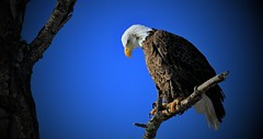 Bald Eagle Totagatic River N.W.R. (Direwolf131) Tags: sundaylights