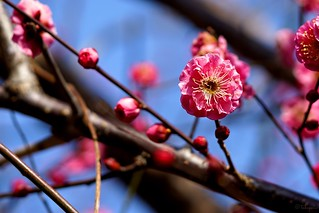 コウバイ Japanese apricot