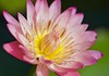 A beauty by the pond! (ineedathis, Everyday I get up, it's a great day!) Tags: lily nymphaea afterglowwaterlily waterplant watergarden pond tropical beauty exotic summer pink nature νουφαρο nikond750 νυμφαια yellow green bokeh flower plant macro