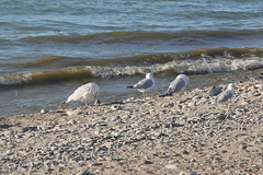 Lake Erie Seagulls (Itinerant Wanderer) Tags: pennsylvania lakeerie