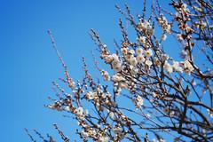 梅、うめ、梅の花 (YUSHENG HSU) Tags: 梅 うめ 梅の花 花 フラワー フローラル 東京 東京都 日本 関東 空 満開 咲く 初春 春 自然 クローズアップ 接写 仰角 植物 素材 背景 バックグランド バックグラウンド 背景素材 美容 ビューティー 美人 コピー スペース 余白 空白 ブランク うつろ 綺麗 エレガント 優雅な 晴れ 晴天 青空 快晴 朝 午前 モーニング 白色 屋外 アウトドア 無人 plum blossom bloom flower floral tokyo japan kanto sky early spring natural nature closeup elevation angle plant flora botany botanical material background backdrop beauty