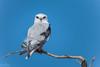 He is the Poem I wanted to write DSC_7496 (BlueberryAsh) Tags: wtp birds blackshoulderedkite kite raptor birdofprey westerntreatmentplant nikond500 tamron150600 victoria pointwilson elanusaxillaris