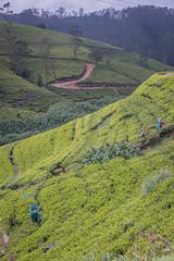850_2484 (stephho2015) Tags: tea ceylon teaplantation srilanka