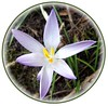 A Little Star (ERIK THE CAT Struggling to keep up) Tags: flowers crocus lapley staffordshire ngc doublefantasy
