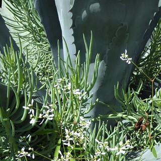 Lisle, IL, Morton Arboretum, Agave Plant and Succulent Foliage