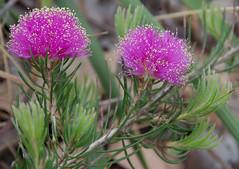 Melaleuca trichophylla, Hartfield Park, Perth, WA, 30/11/17 (Russell Cumming) Tags: plant melaleuca melaleucatrichophylla myrtaceae hartfieldpark perth westernaustralia