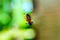 spider's web......... (atsjebosma) Tags: spin web bokeh colourful kleurrijk autumn herfst atsjebosma groningen thenetherlands coth5 ngc