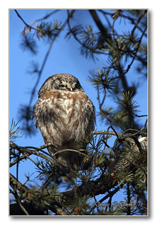 1E1A0858-DL   Nyctale de Tengmalm / Boreal Owl.