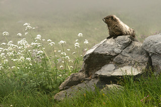 Marmot in the Mist