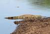 Crocodylus niloticus (Nile Crocodile) - South Africa (Nick Dean1) Tags: crocodylusniloticus crocodile reptile reptilia herpetology animalia krugernationalpark southafrica lowersabie