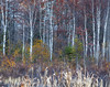 Skeletal Remains (Kevin Pihlaja) Tags: keweenaw upperpeninsula michigan autumn fallcolors nature landscape trees forest birchtrees grass woodland