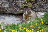 Marmot near Chasm Lake (donovancolegrove) Tags: grass rock woodchuck marmot alpine mammal flower outdoor nose rmnp animal granite fur eyes rocky wildlife yellow squirrel nature 2x3