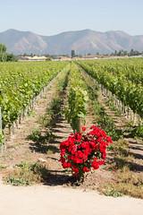 Vines (exfordy) Tags: vin