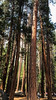 Sequoias VII (frantyky) Tags: eeuu usa naturalpark costaoeste westcoast eastcoast trees paisaje yosemite viaje california parquenatural trip sequoias ladscape árboles vacaciones naturaleza