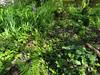 CKuchem-5963 (christine_kuchem) Tags: akelei bienenweide blüte blüten bodendecker buchs farn garten hochbeet insekten maiglöckchen nahrung natur naturgarten nektar pflanze privatgarten schatten schattengarten selbstaussaat sommer trockenmauer vergissmeinnicht walderdbeere wildpflanze naturnah natürlich wild