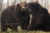 Brown bear Hoenderdaell BB2A4150 (j.a.kok) Tags: beer bear bruinebeer brownbear hoenderdaell ursus mammal animal omnivore zoogdier dier predator