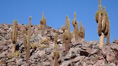131 Kandelaber-Kakti - Giant Cardon cactuses (Echinopsis atacamensis) (roving_spirits) Tags: chile atacama atacamawüste atacamadesert desiertodeatacama désertcôtier küstenwüste desiertocostero coastaldesert