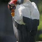 King vulture grooming thumbnail