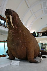 Hudson Bay (Canada) Walrus (koukat) Tags: horniman museum gardens arts crafts new butterfly house hudson bay canada walrus