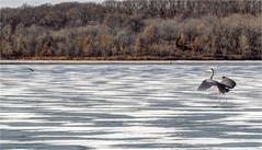 Busch Memorial Conservation Area (ioensis) Tags: augustabuschmemorial conservationarea departmentofconservation missouri mo jdl ioensis greatblueheron bird lake lake33 frozen winter ice snow january 2018 14330675067tmf1e©johnlangholz2018