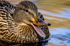 Irvine Regional Park - Mallard Hen_4442 (www.karltonhuberphotography.com) Tags: 2017 bird birdphotography closeup communicating duck female hen irvineregionalpark karltonhuber lake light lookingright mallard mallardanasplatyrhynchos mouthopen nature outdoors park partialbody pond quacking southerncalifornia swimming vocalizing water waterdrops wildlife
