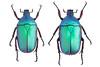 Rhomborrhina mellyi (Gory & Percheron, 1833) 细纹罗花金龟201407 湖北襄樊 (Easyparadise) Tags: beetle collection coleoptera metal color insect nature animal scarab specimen macro entmology museum cetoniinae biodiversity 昆虫 甲虫