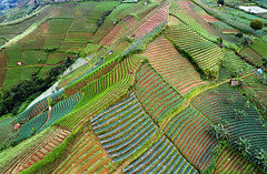 Aerial view of Onion field patterns_DJI_0025 (PRADEEP RAJA K- https://www.pradeeprajaphotos.com/) Tags: indonesia landscape nature java view westjava green agriculture plant plantation beautiful aerialview onion farm field farmer farming pattern farmland natural food fresh indonesialandscape vegetable outdoor garden mountain travel organic hill terrace land asia background valley row growth leaf grow morning season shallot aerial tree hut fields healthy rural countryside aeriallandscape argapura majalengka mount east west asian terraced spring scenic scenery people technology traditional water onionfarmer blue grass harvest tourism soil island foggy