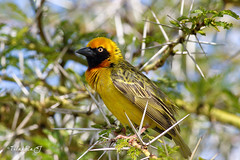 yellow weaver (TRJphotography) Tags: canon nairobinationalpark birds bird beautyinnature beauty nature nairobi kenya closeup