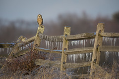 On the fence... (DTT67) Tags: shortearedowls owl perched wildlife nature nationalgeographic birds canon5dmarkiii 5dmkiv 500mmii 2xtciii fenceline winter