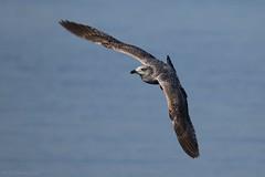 Goéland argenté - European Herring Gull (Larus argentatus) - Arcachon - Capitainerie, plage CVA (Gironde) France, le 27 janvier 2018 (Loïc Le Comte) Tags: goélandargenté europeanherringgull larusargentatus arcachon