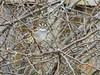 White-Throated Sparrow in spring flowering bush (birdsflocktogether) Tags: whitethroatedsparrow arkansas bird