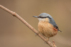 Nuthatch (Alan-Taylor) Tags: bird nature high batts highbatts ripon yorkshire nuthatch sittaeuropaea