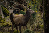 Red Deer (Cervus Elaphus) - Stag (Male) - Adult (Mark Photography 2017) Tags: action activity angle animal animalia antler antlers at background beast blurred body bokeh canadensis cervidae cervus composition crafts deer earth effect elaphus elk environmental exterior field focus format formation frame framing freeze front genre geological grass horizontal land landscape life light lighting looking mammal mammalia meadow motion natural nature orientation outdoor parts photography plant pose posing prairie red setting stag stand style sun tree vegetation view vignette wild wildlife